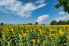 Country landscape near Castell'Arquato (clodio61) Tags: castellarquato emiliaromagna europe fiorenzuoladarda italy lombardy piacenza agriculture color country day field flower land landscape nature outdoor photography plant rural summer sunflower sunny tree