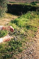 El tinte de las olivas (bloodyflameymary) Tags: sevilla lapuebladelrío ladehesadeabajo aljarafe nature naturaleza animals birds heron garza pajaros familia manos acebuche olivas aceitunas hands tinte olives tint olivetree 35mm olympustrip film carrete