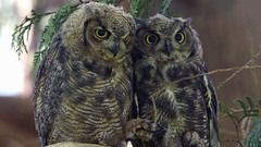 Keep calm, that cup of Black Insomnia will wear off in a bit... (photosauraus rex) Tags: owlets greathornedowlets bubovirginianus younggreathornedowls nonzoo nonbaited nonraptorshow vancouver bc canada birds e co