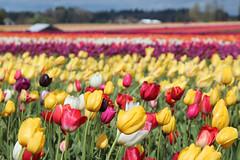 Wooden Shoe Tulip Farm (russ david) Tags: wooden shoe tulip farm woodburn oregon or april 2017 flowers