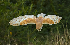 Barn Owl - Geronimo! (Ann and Chris) Tags: avian amazing awesome feathers feeding feather gorgeous hunting hunt owl barn barnowl diving raptor stunning wildlife wings wild