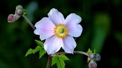+Kwiat+ (andrzejskałuba) Tags: polska poland pieszyce dolnyśląsk silesia sudety europe panasonic lumix fz200 roślina plant kwiat flower natura nature ogród garden zieleń green 100v10f anemon anemone