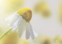 daisie may (rockinmonique) Tags: daisy macro bokeh white yellow soft texture shimmer pretty moniquew canon canont6s tamron copyright2017moniquew