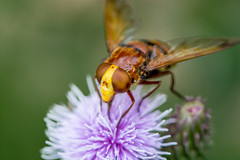 Syrphe Volucella inanis (xpressx) Tags: photo insecte photographe nikkor105mm nature syrphe passionphotonikon filletage feuille xpressx d7100 naturemacro exposure macro 105mm 105nikkor nikond7100 nikkor nikon lightroom nikonadicted