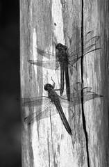 Dragonflies (Cattail_) Tags: dragonfly insect helsinki uutela minolta rokkor rokkorpf 85mm mc xg1 stand standdeveloped standdevelopment film analog filmphoto ilford delta