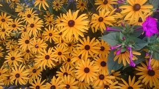 Les soleils du jardin