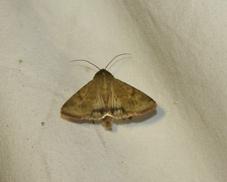Helicoverpa zea, Corn Earworm Moth