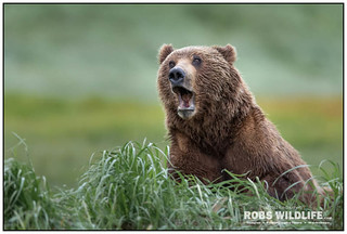 Alaska Brown Bear 063017-6348-W.jpg
