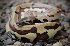 Python brongersmai (daniel_hinrichsen) Tags: python brongersmai red blood snake reptile animal pet colorful large golden eye goldeneye morph hoppy