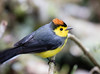 Collared Redstart (Laura Erickson) Tags: collaredredstart birds parulidae passeriformes species places costarica myioborustorquatus