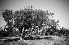 On Culver Downs (Alex . Wendes) Tags: downs culver culverdowns bw blackandwhite digitalbw tree d7000 nikond7000 tokina1116mm flickrgolfclub circularpolarizer