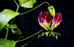 Climbing lily (mysticislandphoto) Tags: garden flower lily climbinglily carnivalgloriosa explored doublefantasy