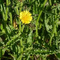 *Helminthotheca echioides (Picris e.), BRISTLY OX-TONGUE. (openspacer) Tags: helminthothecaechioides asteraceae bristlyoxtongue montereycounty nonnative salinasrivernationalwildliferefuge