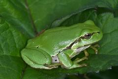 Hyla arborea, la rainette verte ou rainette arboricole, common tree frog. (chug14) Tags: animalia amphibia hylidae hylinae commontreefrog rainette rainetteverte rainettearboricole hyla hylaarborea frog