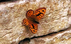 Wall in its element. (Fr Paul Hackett) Tags: butterfly wall insect dorset