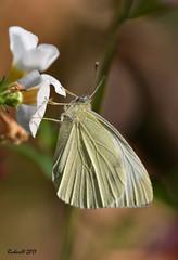 Piéride de la moutarde / Wood White (Richard Vézina) Tags: nikond750 sigmaaf150mmf28exdghsmapomacroos papillon butterfly backyard