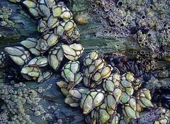 Percebes (Gooseneck barnacles), en playa de las Catedrales (Lugo, España) (joseange) Tags: gooseneckbarnacles percebes galicia playadelascatedrales lugo acantilados