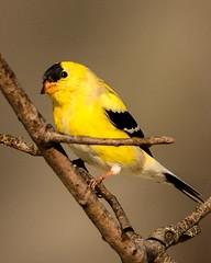 Eastern Goldfinch -5859 (mwasserman) Tags: bird goldfinch wildlife nj