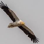 Egyptian Vulture thumbnail