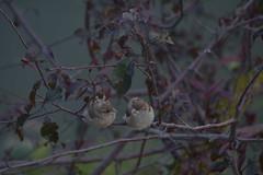 Finch mates (fitzbike1) Tags: birds finch lockportny niagaracountyny nature eriecanal nikond5200 trees wildlife