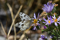 Checkered White butterfly in Wyoming (robmcrorie) Tags: checkered white chequered butterfly jackson hole wyoming grand teton national park nikon d7500 200500 ed vr lens nature wildlife daisy flower