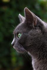 Portrait (Jana`s pics) Tags: cat grey grau katze hauskatze haustier animal pet greeneyes grüneaugen green grün seitenansicht profil portrait aufmerksam catmoments