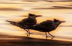 Terns on Shore (beachpeepsrus) Tags: terns shore sunset shorefront longbeachcalifornia longbeachgranprix light l
