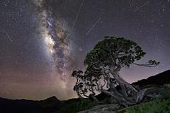 合歡北峰圓柏-銀河-流星 (Sam's Photography Life) Tags: 合歡北峰圓柏 合歡北峰 圓柏 銀河 流星 星空 風景 自然 tree canon colorful star galaxy markiv mark4 nature landscape 5d4 5d 1635 f28