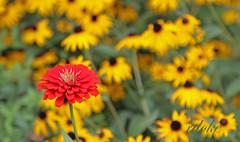 Red Zinnia (Rdoke) Tags: flowers zinnias garden explore
