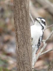 Downy Woodpecker 1 (D. S. Hałas) Tags: halas hałas canada ontario wentworthcounty hamilton dundas chordata sarcopterygii aves piciformes picidae picoidespubescens downywoodpecker woodpecker bird dryobatespubescens royalbotanicalgardens