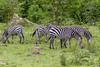 Zebras (Vitatrix) Tags: zebra unpaarhufer equidae streifen steppe tiere herde animals