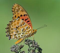 Male Indian Fritillary 1 (mishko2007) Tags: argyreushyperbius korea 105mmf28