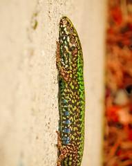 Bonded (SheffieldStar) Tags: 2017 bc britishcolumbia canada victoria gecko lizard nonnative escaped brilliantcolours vertical sunning reptile nature vancouverisland closeup