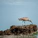 Sea Birds of Palo Alto-7349