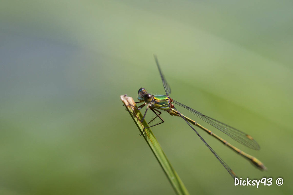 The world 39 s best photos of demoiselle and libellule - Insecte vert volant ...