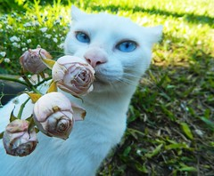 Rosas (Luana Moraess) Tags: cat kitty gata gatobranco rosas