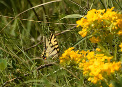 Eastern Tiger Swallowtail (turn off your computer and go outside) Tags: 2017 butterfliesofthemidwestbyjaretcdaniels crexmeadowswildlifearea dnr grantsburg june wi wisconsin butterfly critter easterntigerswallowtail indentified insect latespring nature northwestwisconsin outdoors sunnyday yellowbutterfly boothcourtenayandjameshzimmerman boragefamily isbn0442217048 lithospermumcarolineiense pucoon wildflowersandweedspages8687 yellowflower identified