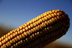 _AF0030 (fotosagroindustria) Tags: agricultura alta ameghino augustofamulari buenosaires cereales maiz
