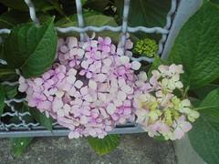 364 (en-ri) Tags: ortensia rosa verde foglie leaves sony sonysti