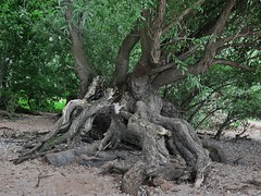 Im Rhein-Auen-Wald (nordelch61) Tags: rhein fluss auenwald wald baum bäume wurzel wurzeln luftwurzeln freiliegend root roots tree forest weiden weidenbäume knorrig alt