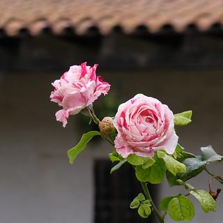 Rose Garden, Mission Nuestra Señora de la Soledad 9/11/17