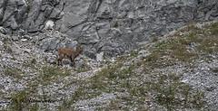 Steenbok Female / Capricormus (m.ritmeester) Tags: ngc naturelovers natuur pertisau karwendel steenbok bruin groen grijs tirol bergen oostenrijk