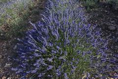Solo lavanda (Julio Millán) Tags: lavanda naturaleza flores plantas