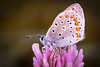 Morning dew beauty (stmlphoto) Tags: plebejusargus dew wet flower drops water earlymorning insect butterfly macro