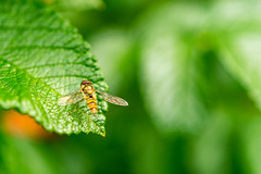 (ChicqueeCat) Tags: macro insect nature nikon d3300 40mm