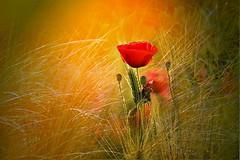 Poppy (Zz manipulation) Tags: art ambrosioni zzmanipulation poppy papavero natura erba colori aranciati campagna country fiori