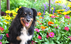 36/52 Weeks for Maddy (ginam6p) Tags: flowers dogs toronto nikon 52weeksfordogs 2017 australianshepherd maddy