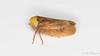 Pediopsis tiliae (Olli_Pihlajamaa) Tags: animalia arthropoda auchenorrhyncha cicadellidae cicadomorpha hemiptera hexapoda insecta invertebrata membracoidea pediopsis pediopsistiliae eläinkunta hyönteiset kaskaat koti kuusijalkaiset kääpiöjasarvikaskaat kääpiökaskaat lehmusnaamiokas niveljalkaiset nivelkärsäiset ponsikaskaat selkärangattomat espoo uusimaa finland fi