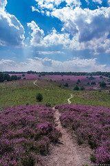 Purple Haze (FotoFanatic.nl) Tags: grassland heaths netherlands fotofanatic nature pure awesome purple path scenery posbank veluwe veluwezoom summer blooms plants colors surrealistic