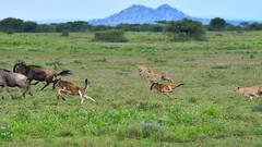 Team work (John Kok) Tags: tanzania ndutu april2017 cheetah acinonyxjubatus nikkor30028vr2